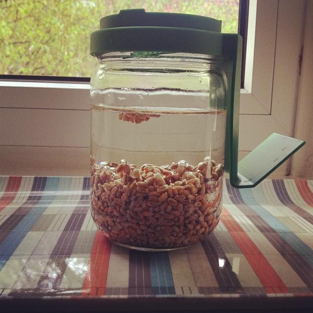 Weizensamen im Keimglas ziehen